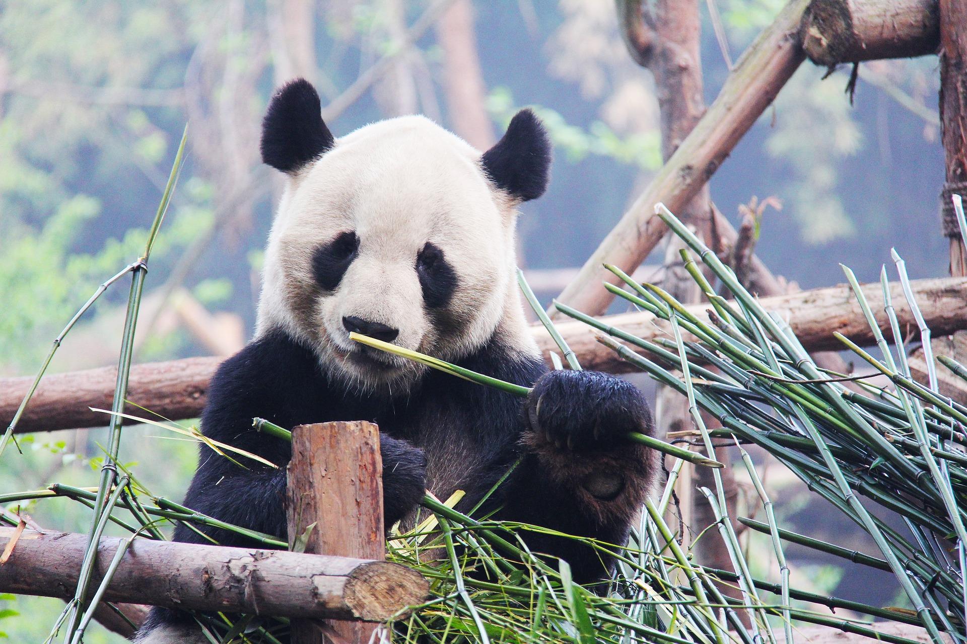panda-eating.jpg
