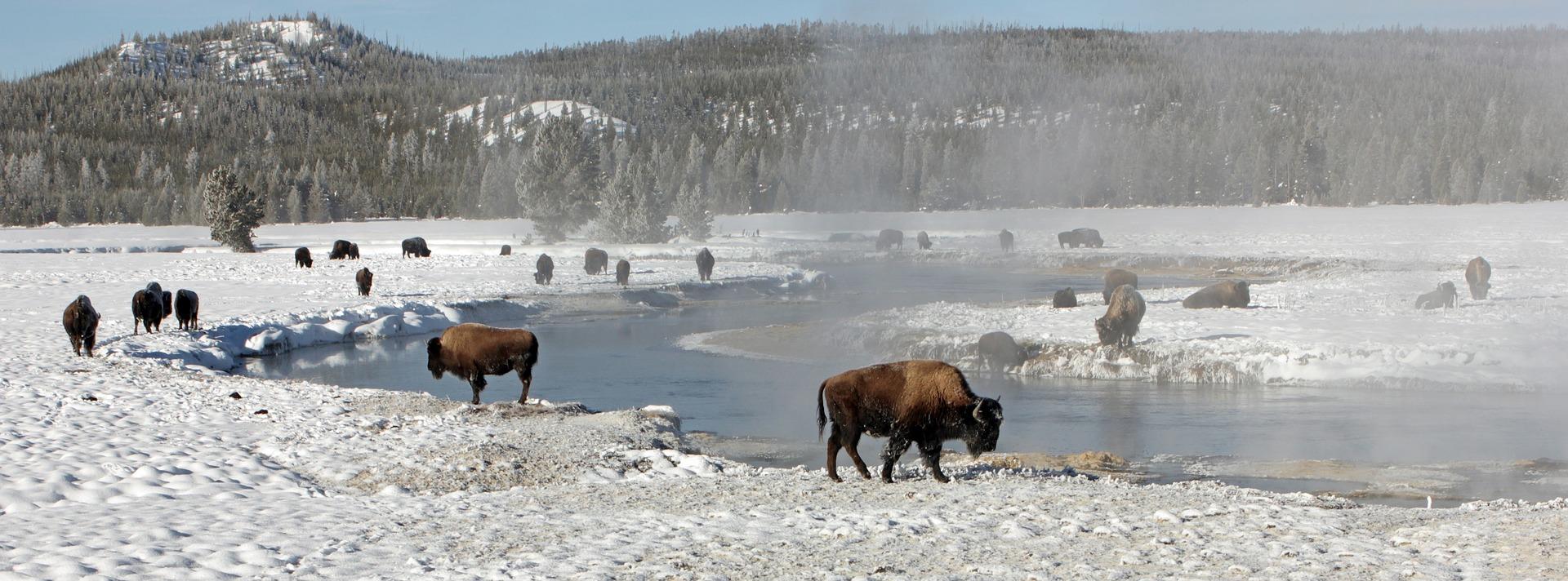 bison-buffalo.jpg