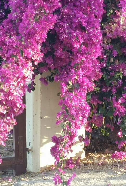 Bougainvillea at the Door, Nazca, Peru