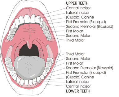 Teeth Names.jpg