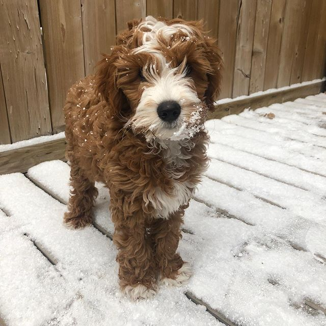 I love when our families send updates on pictures of our puppies Tokyo loves the snow!!🐾🐾