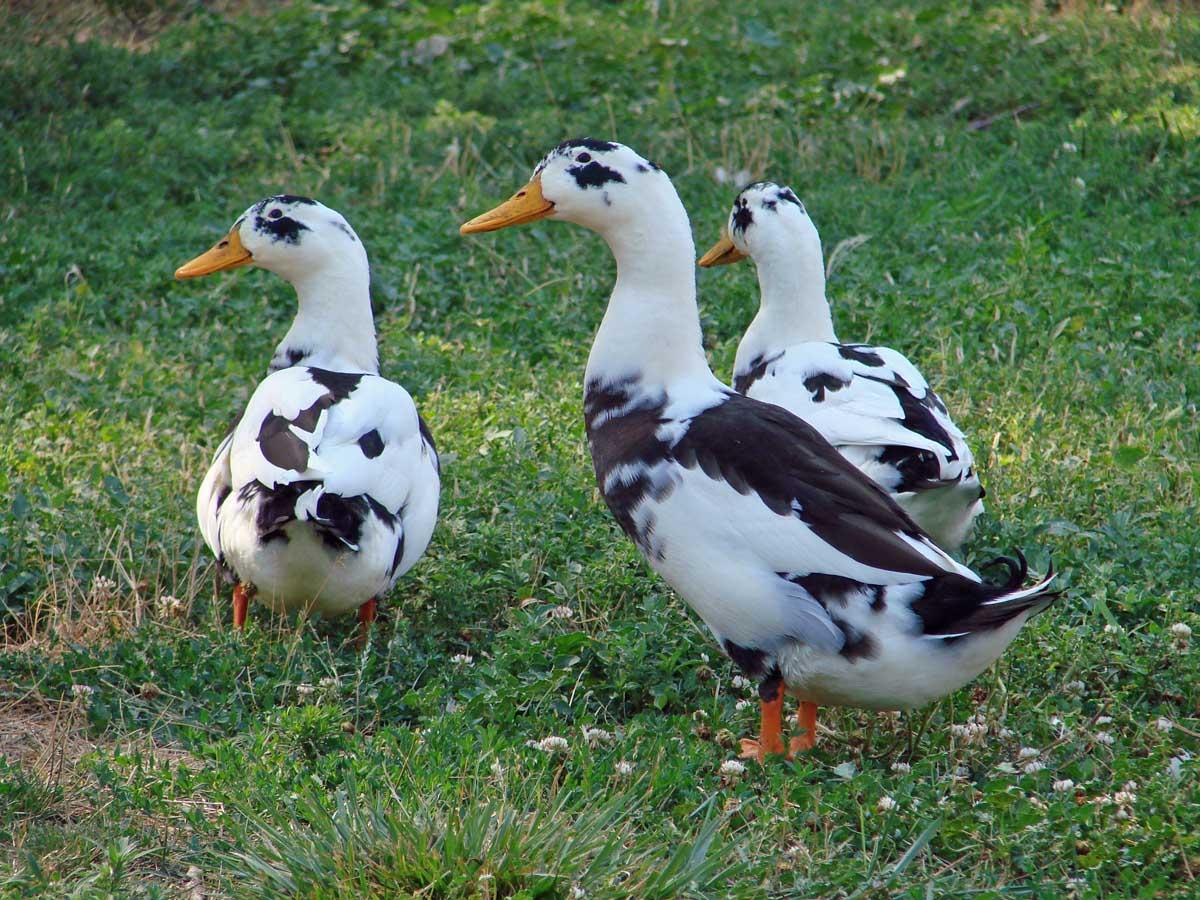 DucksGrownUp.jpg