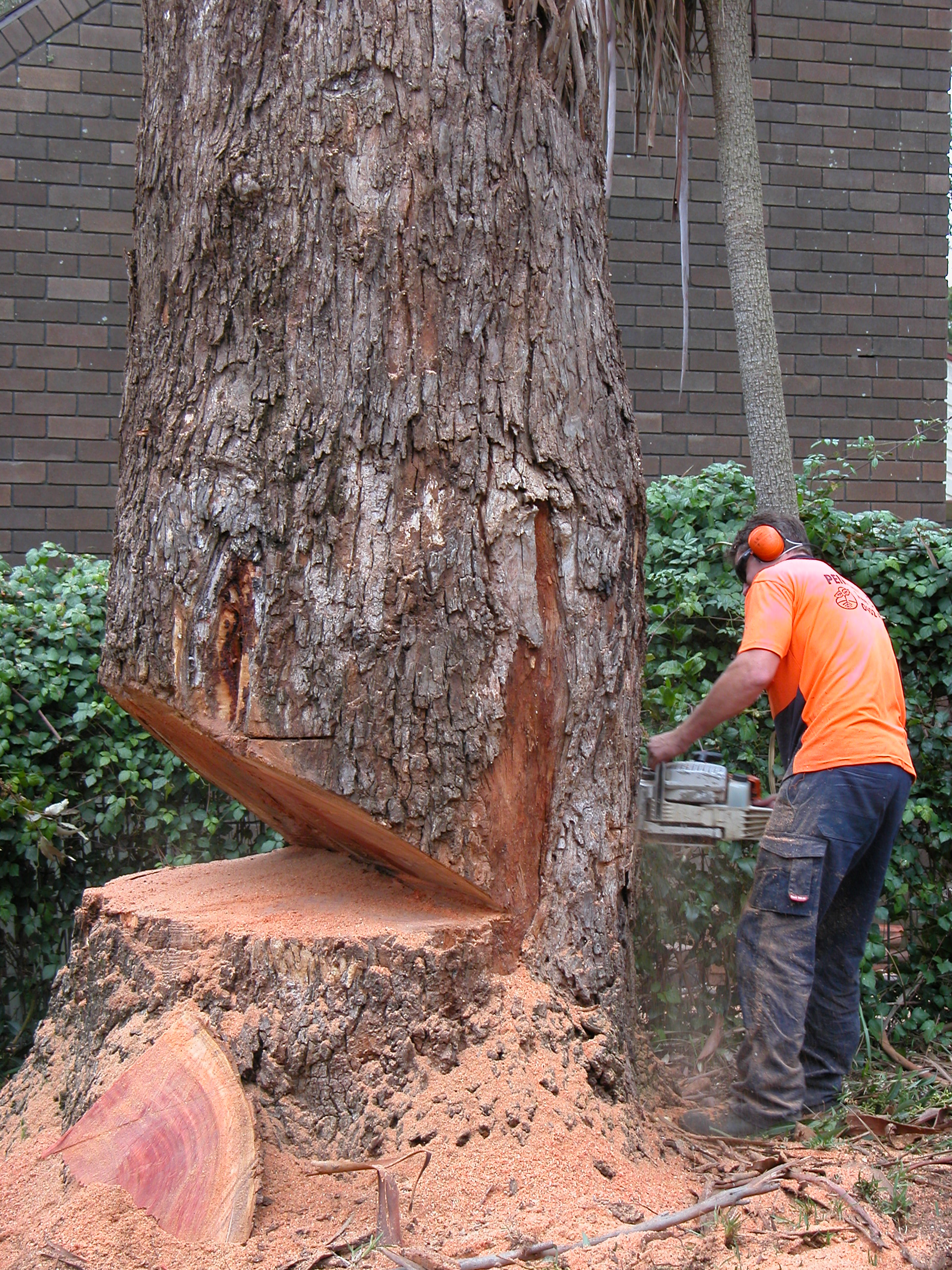 tree-cutting-notches.jpg