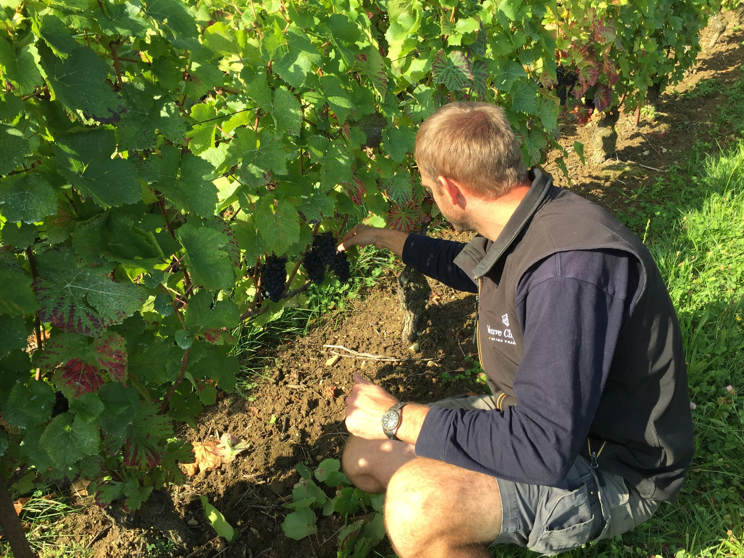 Wilfried checking on his grapes to assess when he can start harvest