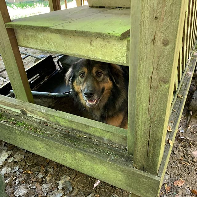 Look what I found in the shed! The neighbors' sweet floofy boyo, Zeus! Zeus on the Loose!!!