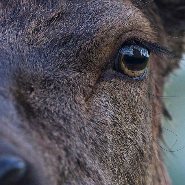 The Red Deer of Ashton Court. I'm going to be photographing and filming these guys a LOT during my wildlife filmmaking MA. . . . . . #uk #bristol #deer #wildlife #filmmaking #macro #photography #wildlifephotography #naturephotography #nature #eyes #earthcapture #natgeoyourshot #nikonphotography #nikon #d810 #uwe #ashtoncourt #vscocam #vsco #thelensbible #yourshotphotographer #instanaturefriends_