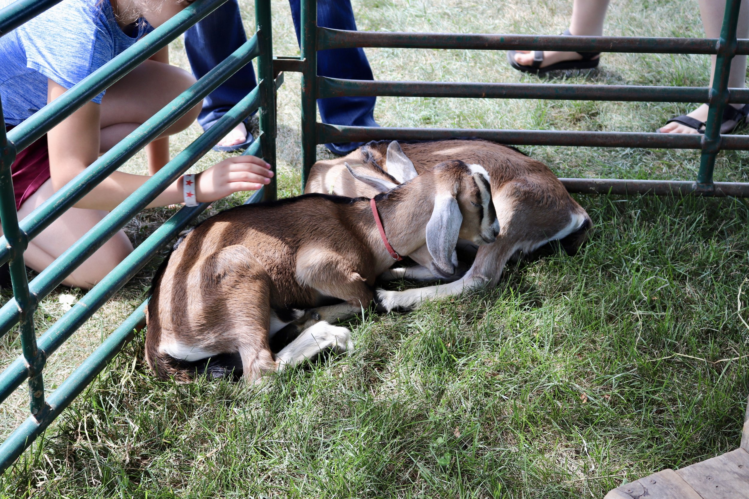 baby goat loves the naps