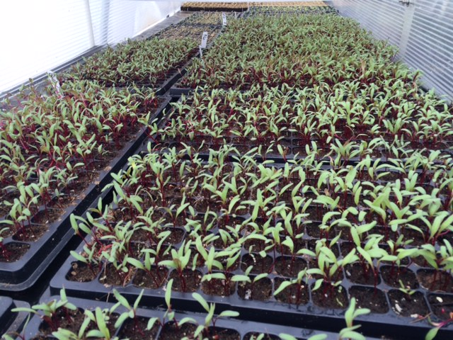 Early beets enjoying the weather in our seedling house!