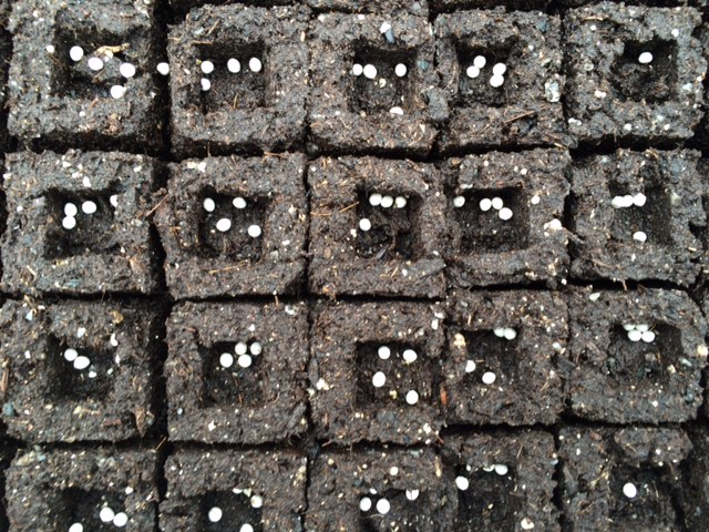 Pelleted onion seed in our soil blocks - ready for covering and germinating.