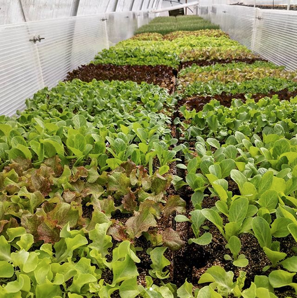 lettuces in the greenhouse, waiting for warmer weather
