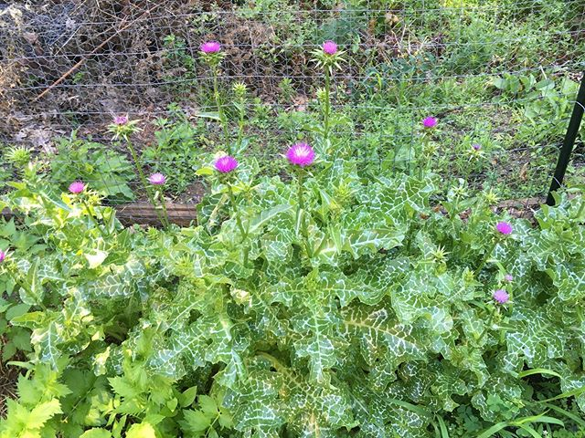 Growing Milk Thistle plants for the first time!! They are pretty prickly but very gorgeous to look at!