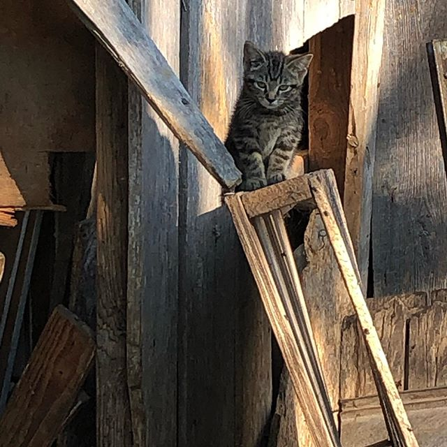 Our newest farm member, Franky -The Shed Cat? - In her favorite morning spot. The kitten took shelter with our goats and Beulah a week ago and seems to make house🤗 #barncat #sunnywolffarm