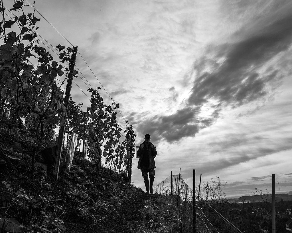 27 charbonnay 2014 vigne4 - copie.jpg