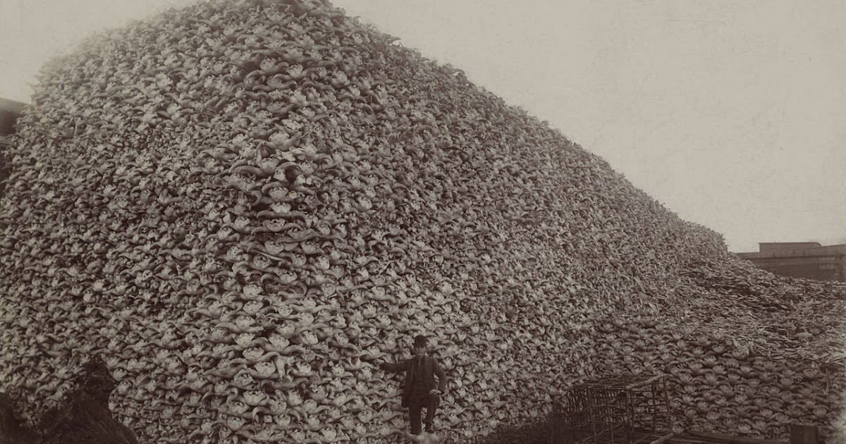 Mountain of buffalo skulls, western North America, 1870.Wikipedia Commons.
