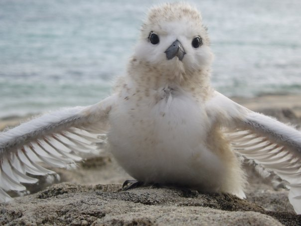 white tern chick laysan.jpg