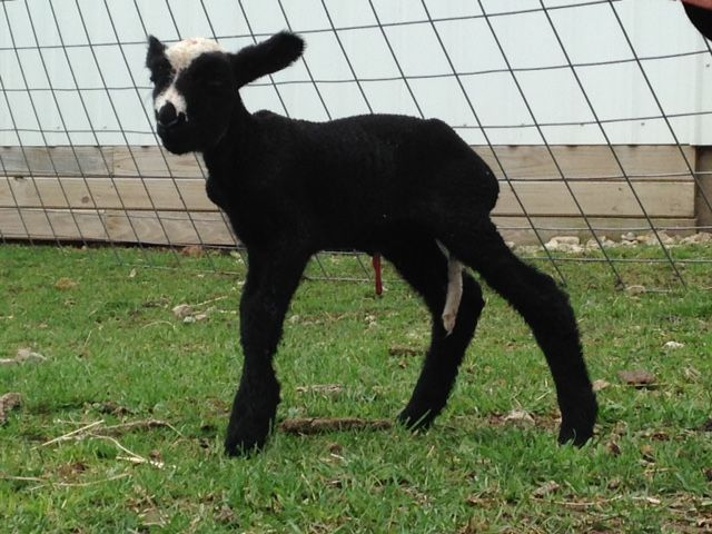 Tipple as a lamb