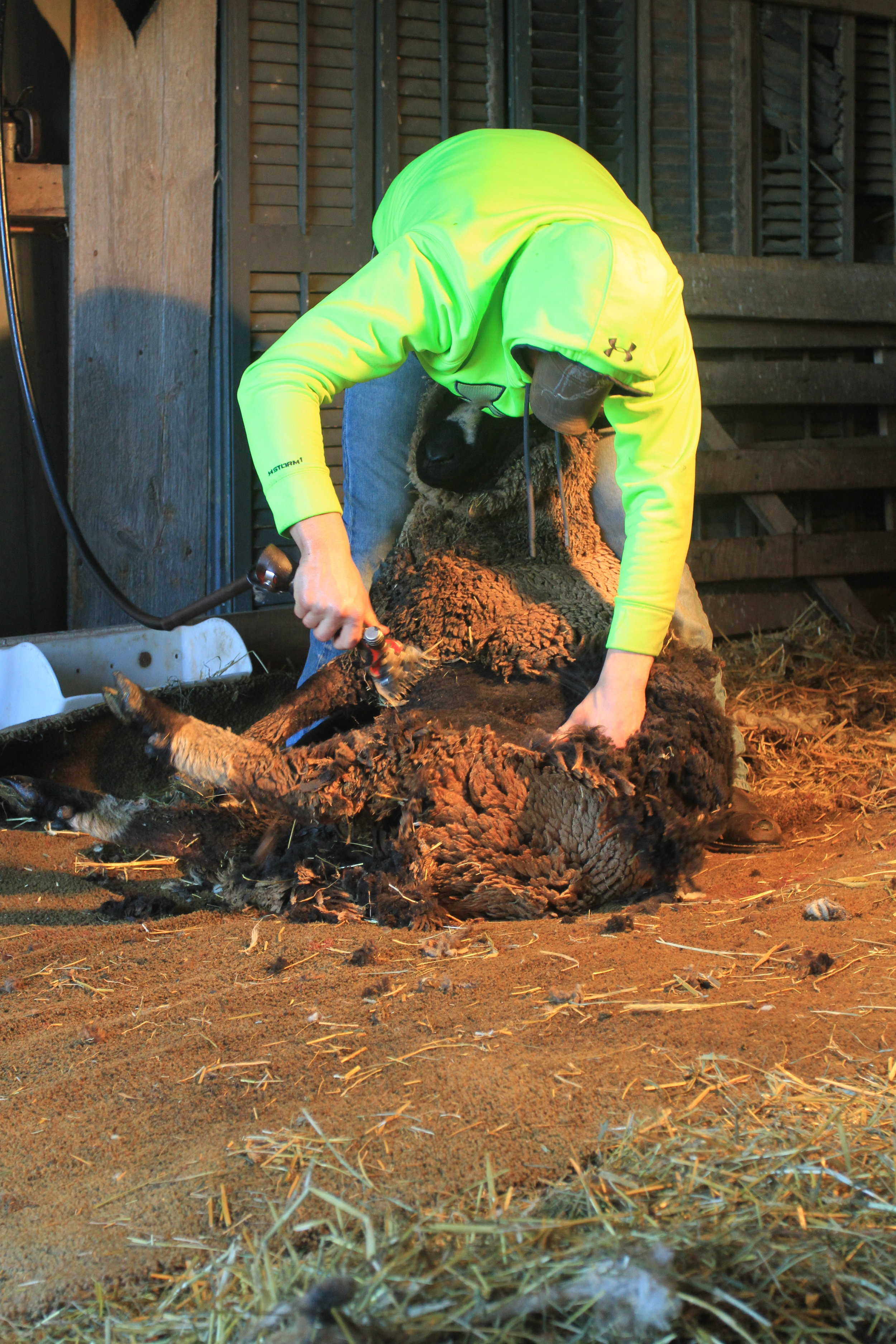 Wyatt did a great job shearing our sheep this year.