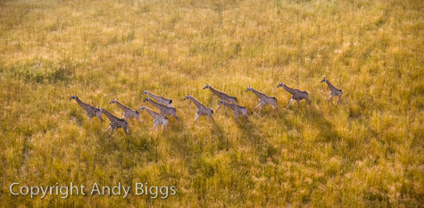 Giraffe Herd from Above