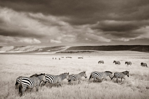 Zebras in a Row