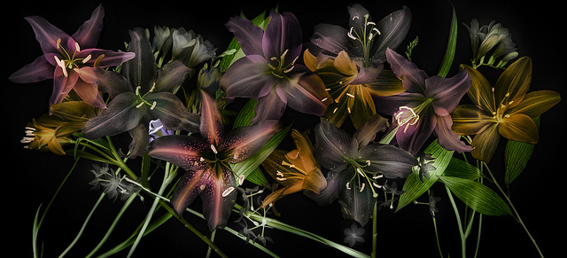 lilies on black panorama .jpg