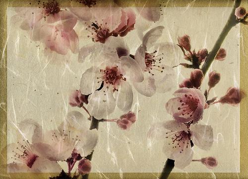 cherry dance.jpg