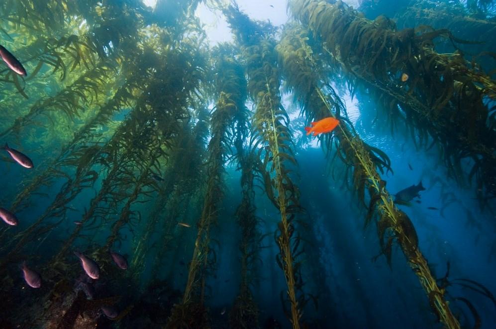 Giant Kelp Diving in California Requires Basic Open Water Certification