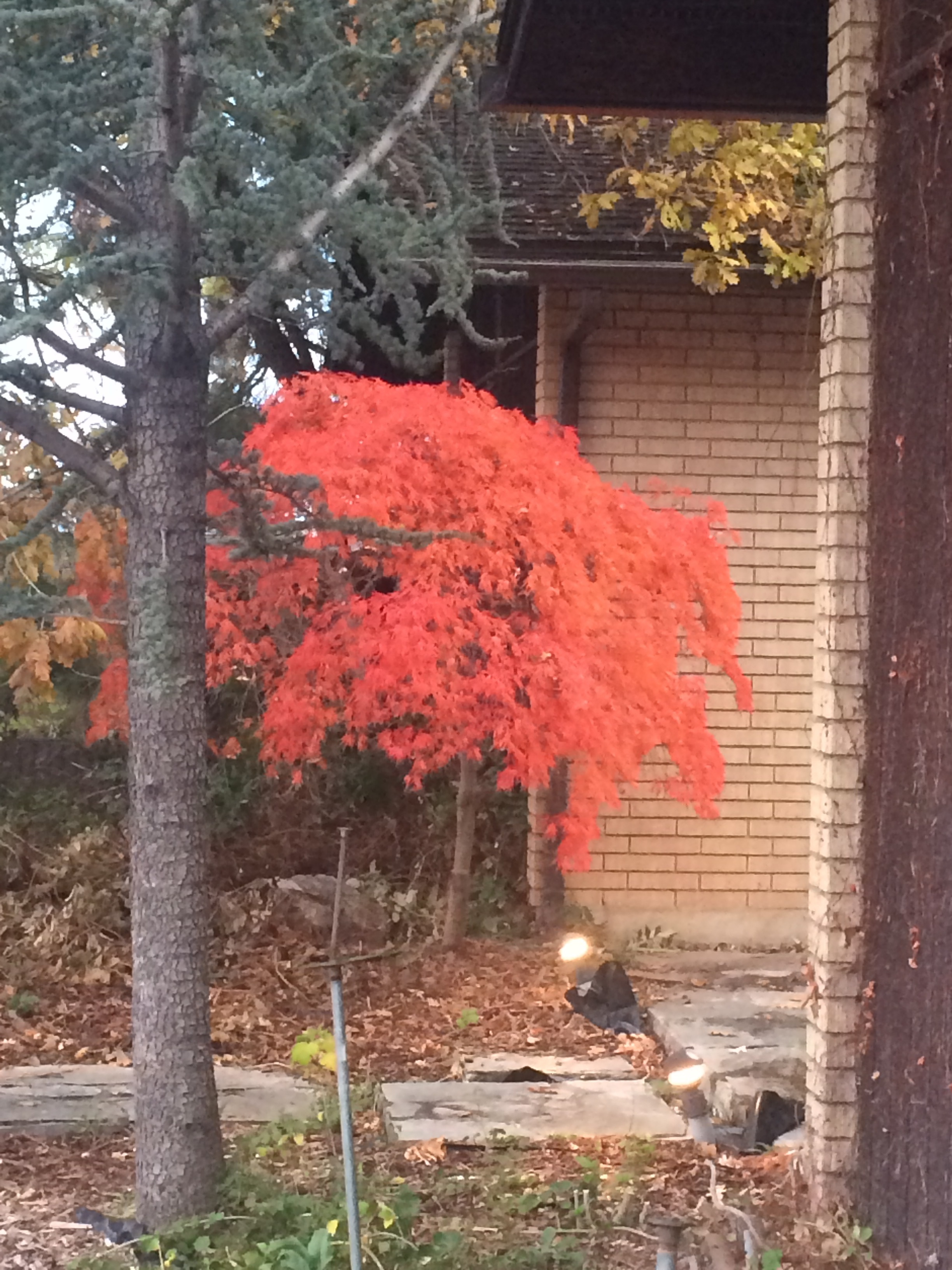 One of the many beautiful Japanese maples that had been hidden.