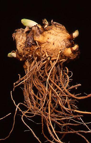 bearded iris root