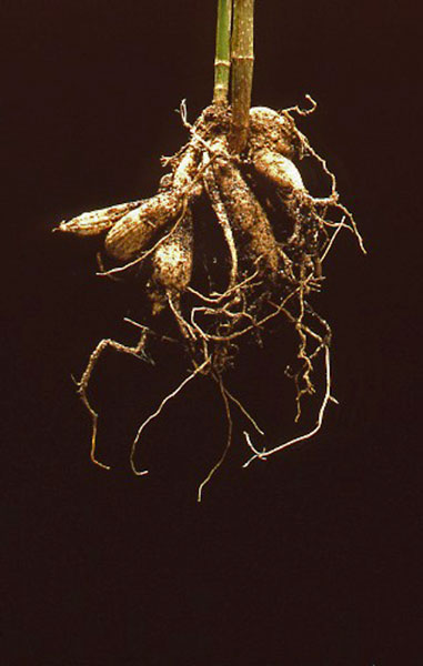 dahlia root
