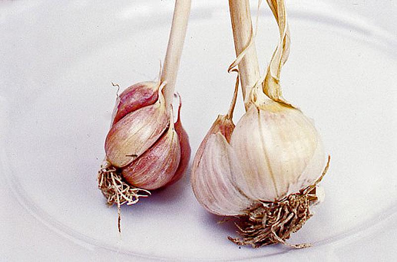 garlic plant roots