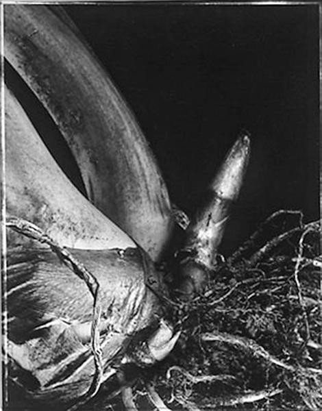 elephant ear root