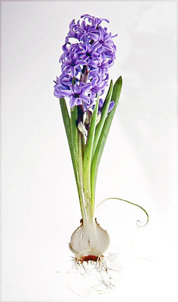 hyacinth cross section