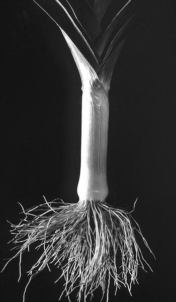 leek root