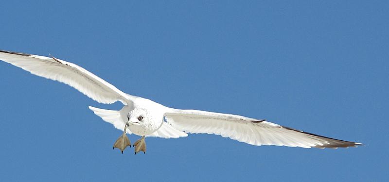 seagull dsc 0027