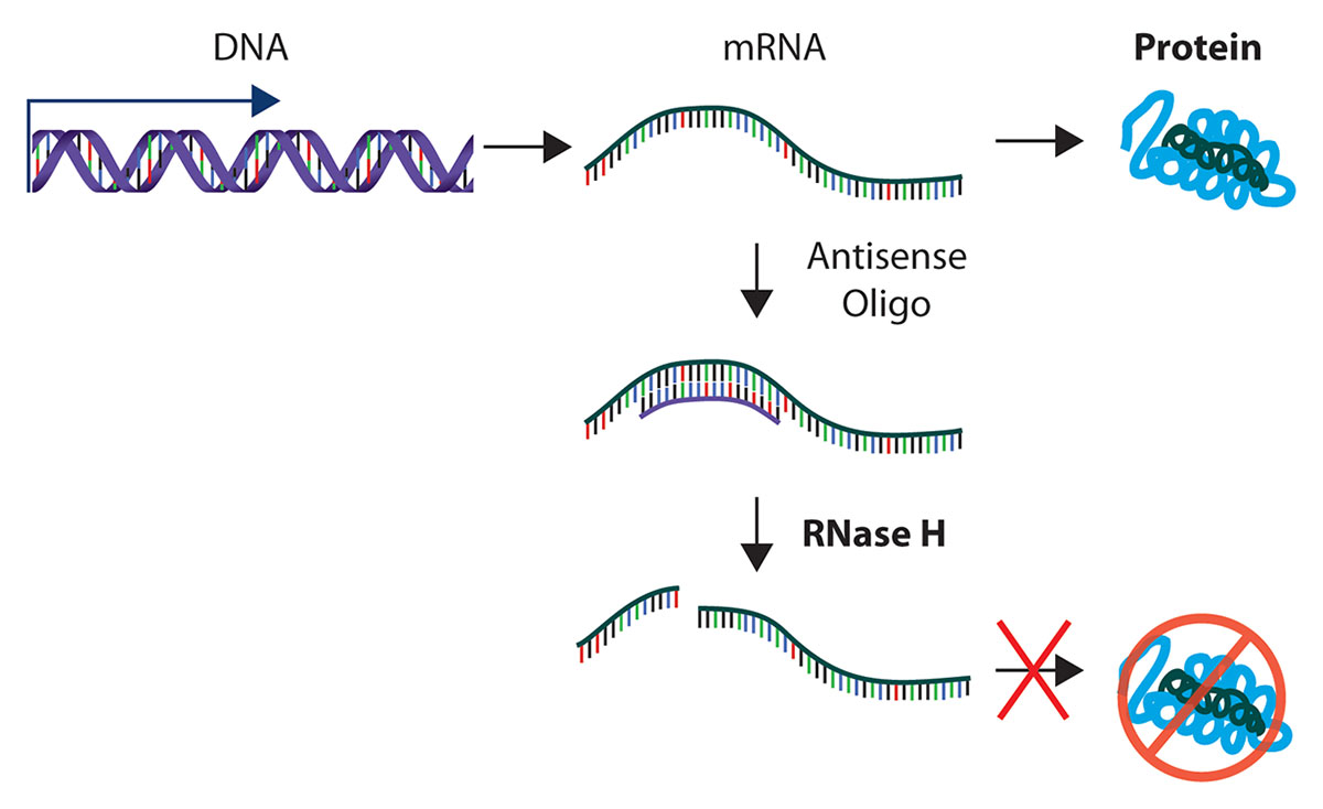 rnase-h-explained.jpg