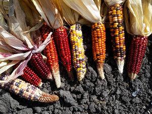 native+corn+2015+2+Short.jpg