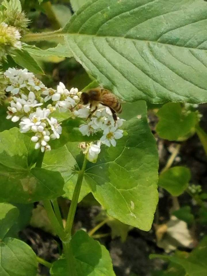 bee in buckwheat.jpg