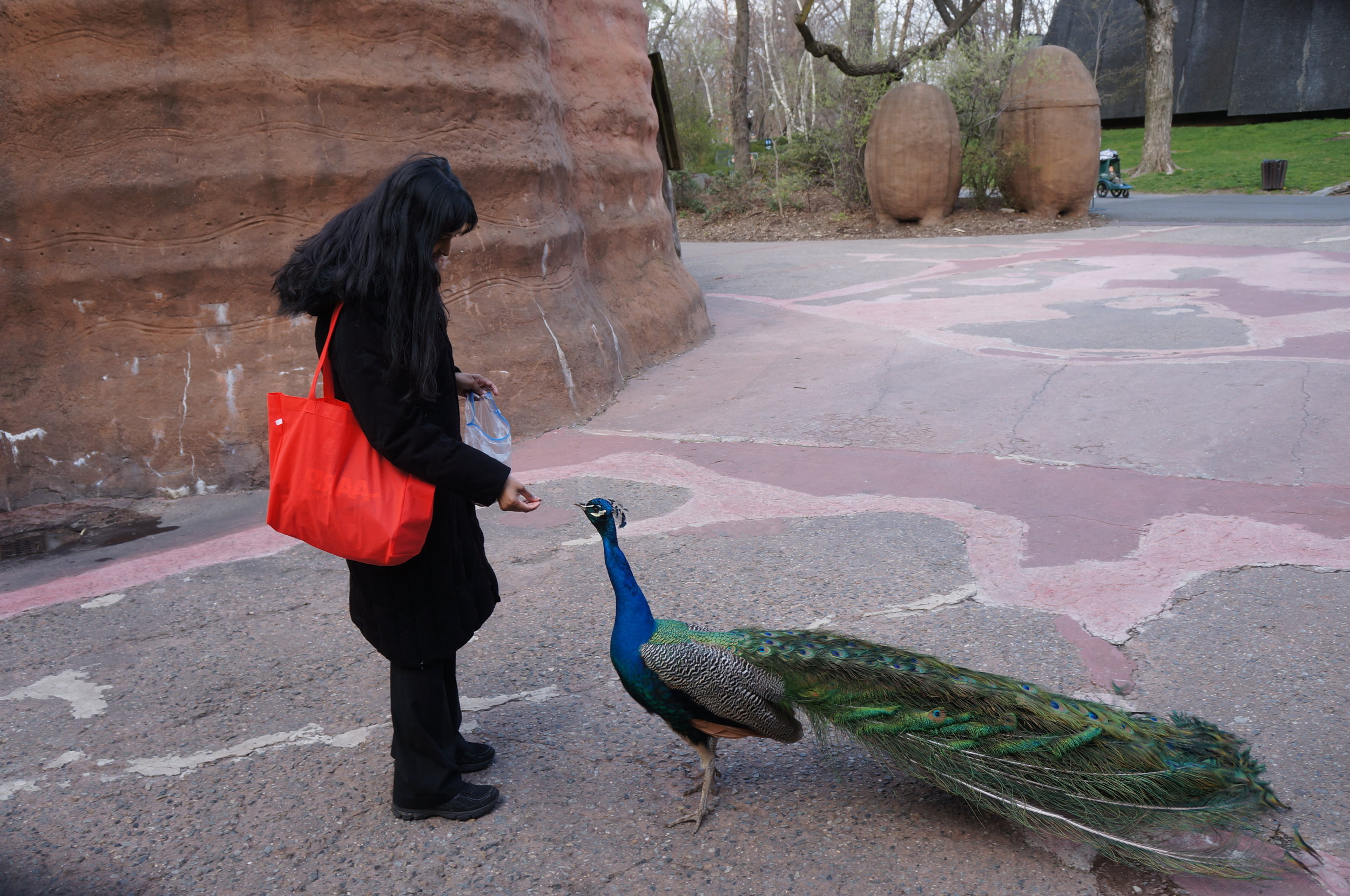 Feeding a Peacock