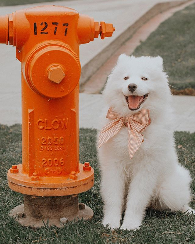 Kara is 4 months old!!! 🐾 We measure her height by fire hydrants....Little Fox is sporting a bowtie from @runwaymisfitz in this pic! 🧡⁣ ⁣ She's learning to go to sleep without her crate, we leave her out in the apartment throughout the day and she's hasn't destroyed anything yet, she loves children, chasing birds, and humans in general! Ohhhh and my favorite thing about Kara is she loves attentive, communicating (BARKING 🥺) and snuggling which is my fav! ⁣ ⁣ So thankful for the amazing brands we have gotten to work with too! Go check out these big beautiful bow ties from @runwaymisfitz right now 🙏🏻🙌🏻 #samoyedpuppyofinstagram #samoyedpuppy #samoyed #samoyedloversclub #samoyedlife