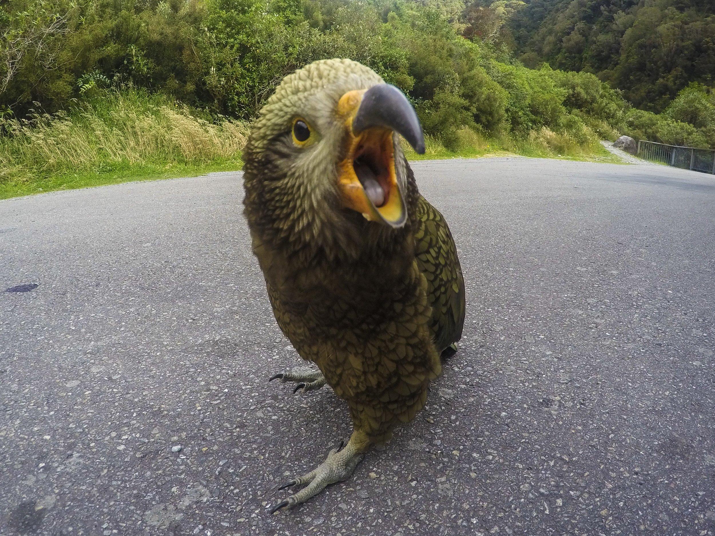 Kea in New Zealand.JPG