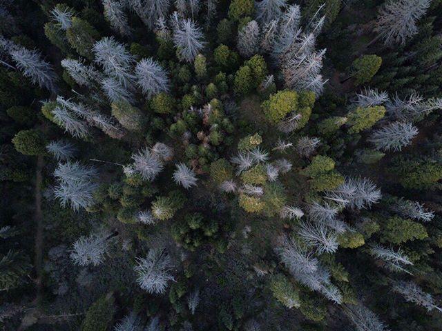 Crispy Conifers #dronelife