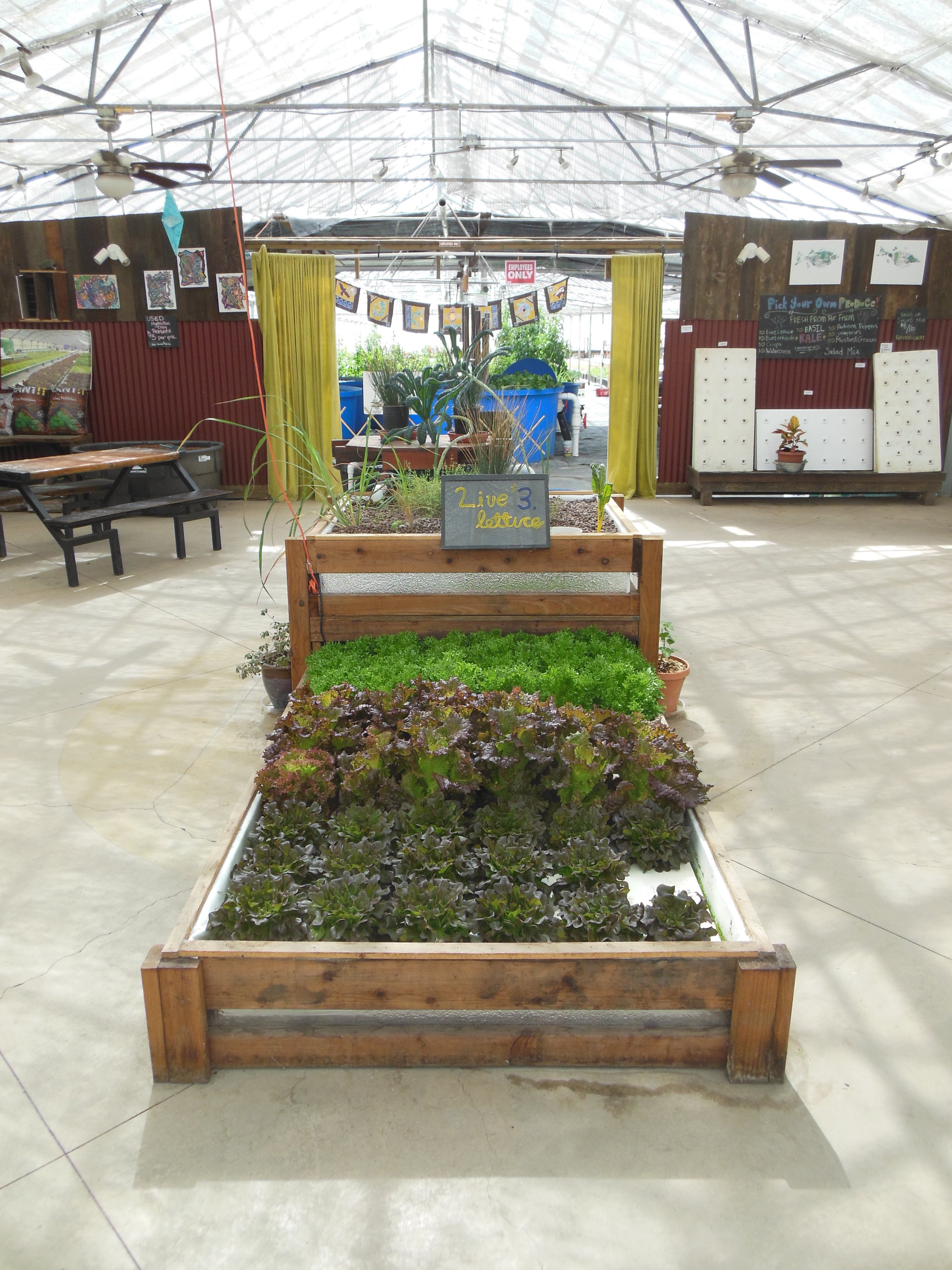 U-Pick Lettuce the Aquaponic way - directly from our home aquaponic system. Can't get any fresher than that!
