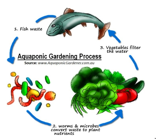 The Aquaponic cycle is an extremely water-efficient, sustainable and chemical-free method of growing.