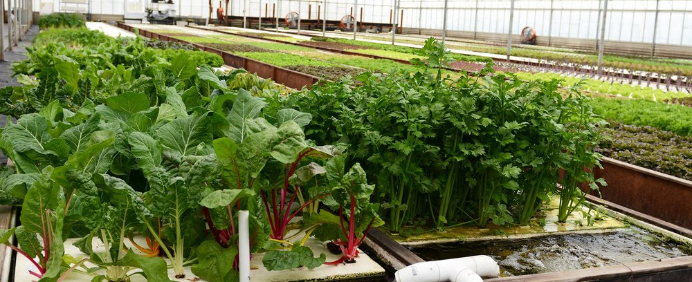 These vegetables, which include kale, celery and butterleaf lettuce were grown in our aquaponic deep water culture.