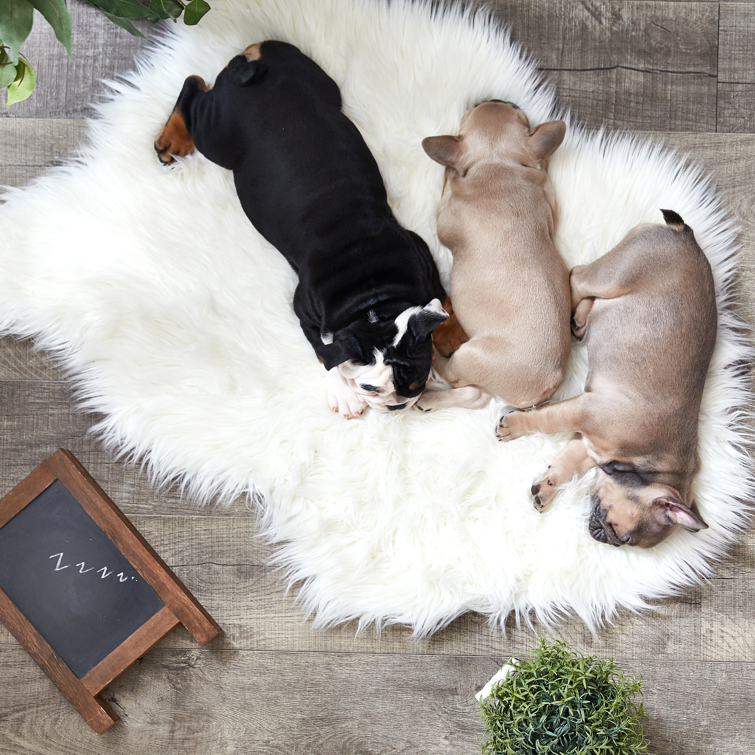 Lifestyle image of French Bulldogs napping on a Target rug. Taken for Chewy.com.by Javier Edwards