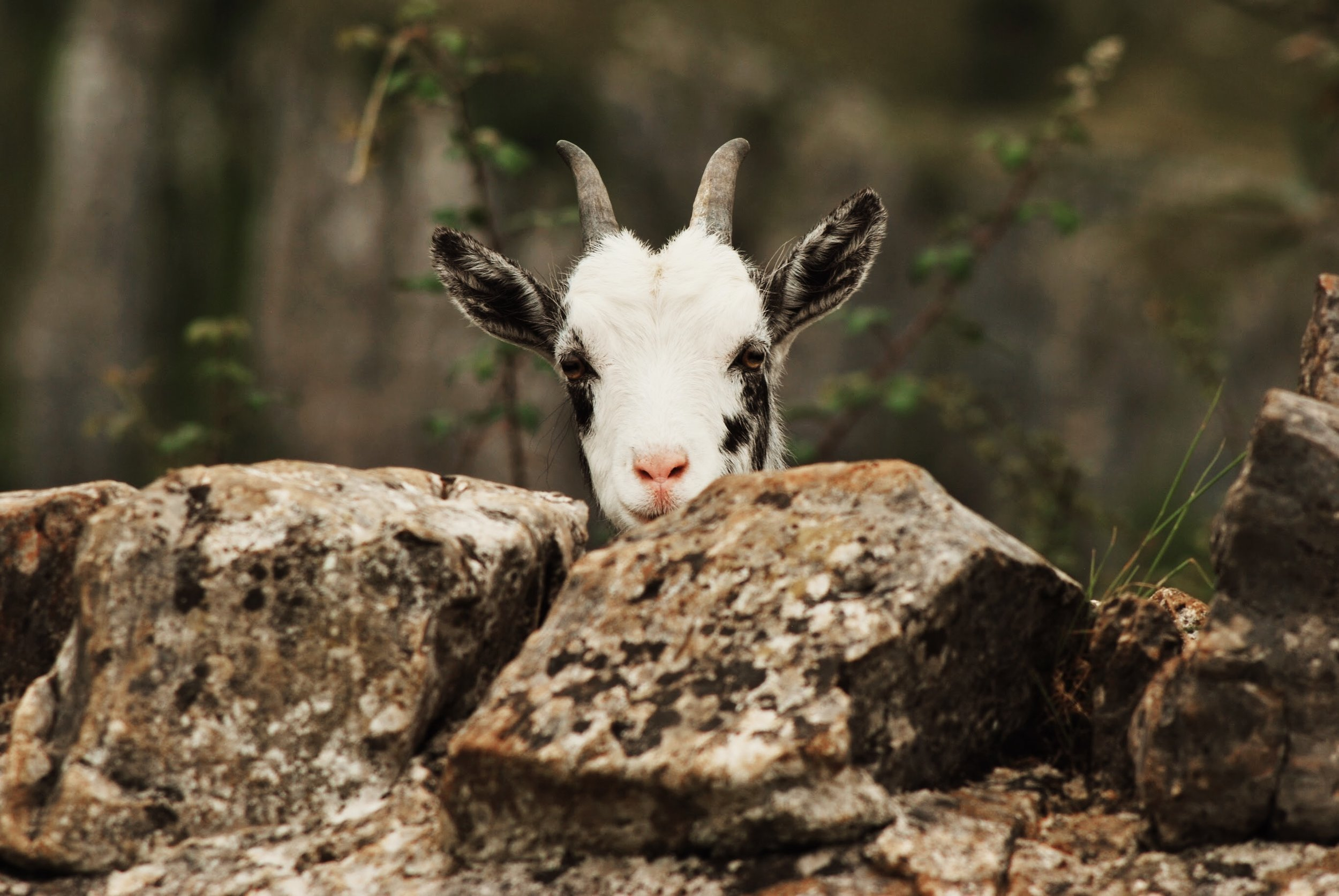The goats may look friendly but...