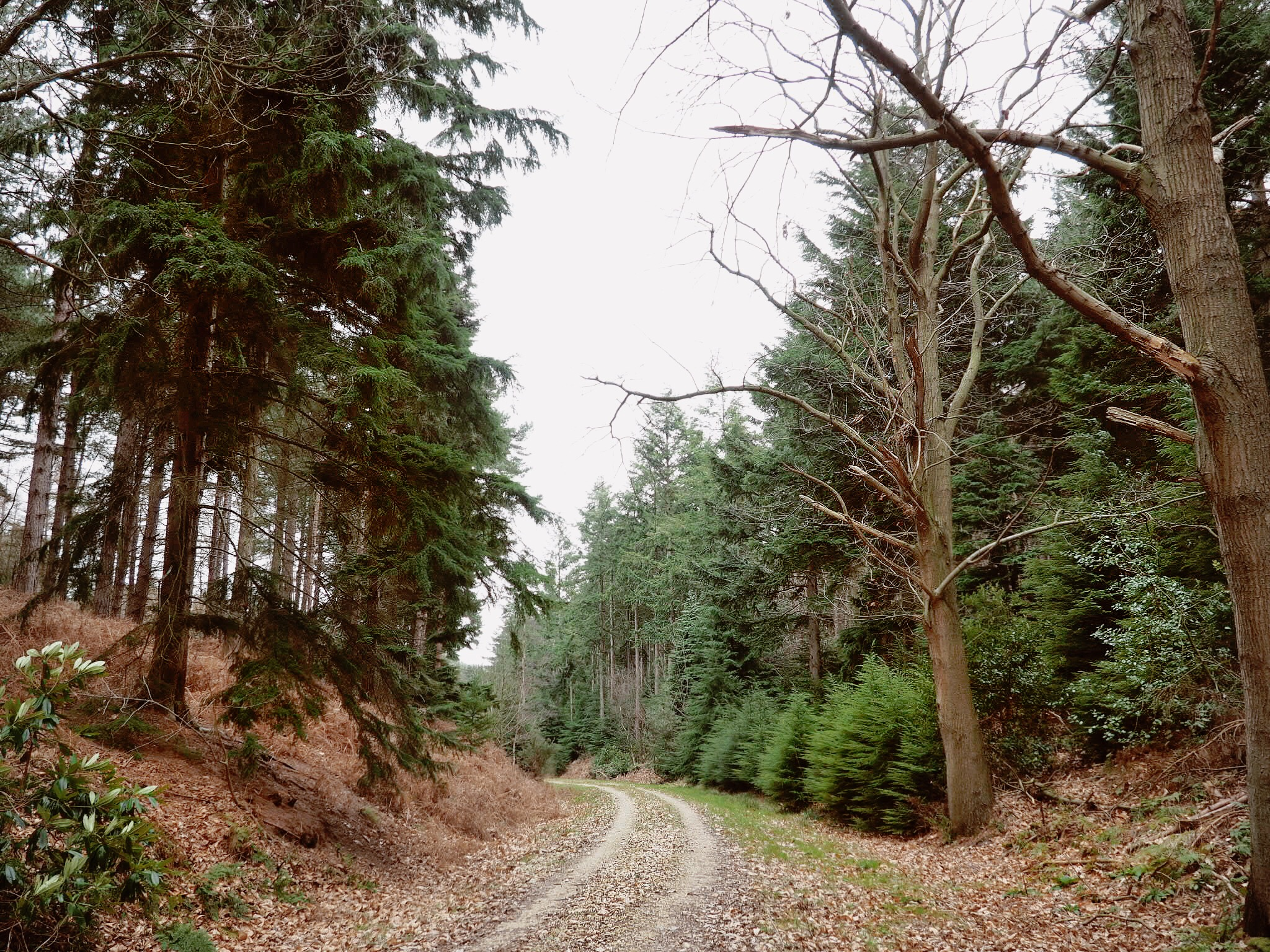Forest road through the pines