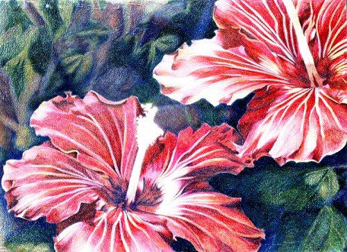 Hibiscus - Colored Pencil Drawing - SOLD