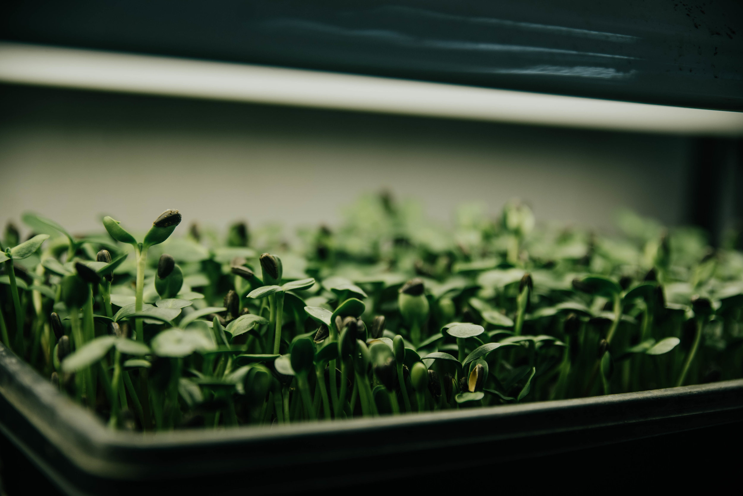 pea shoots.jpg