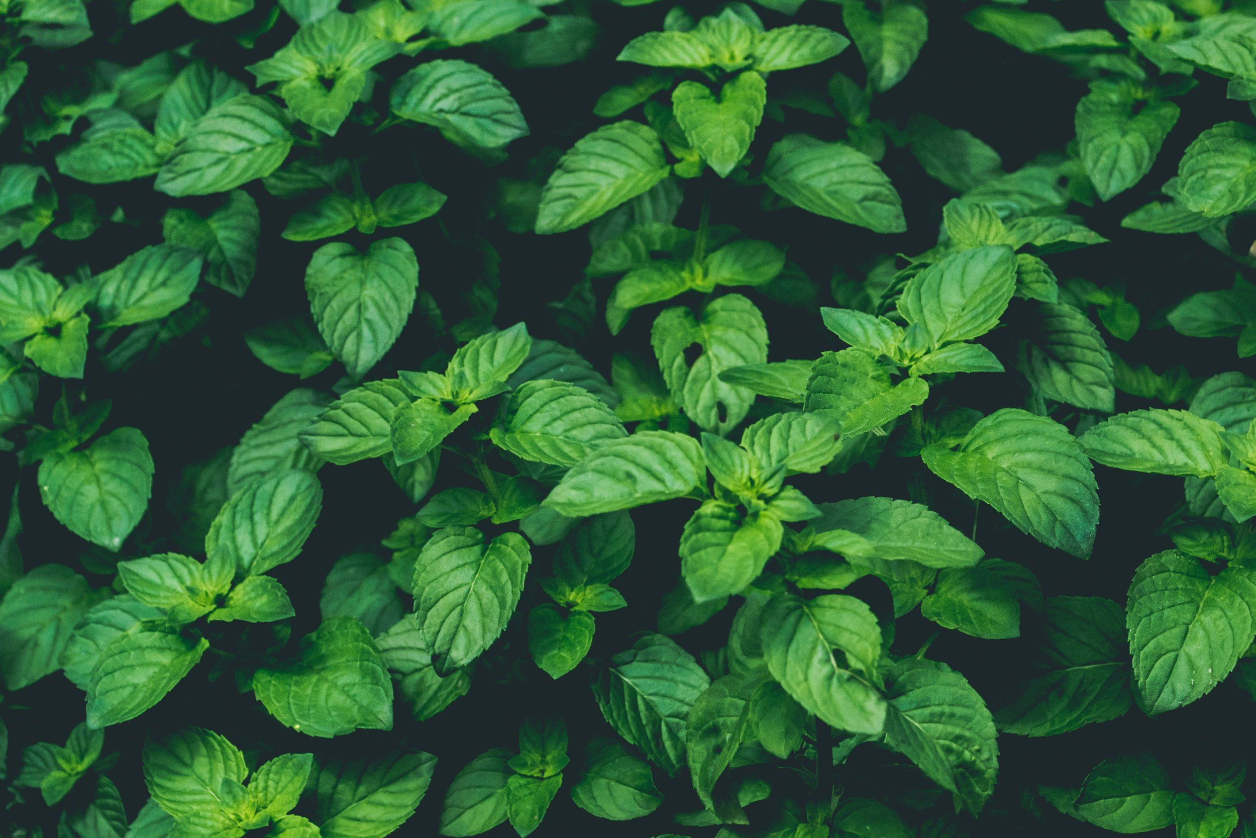 Mint acts as a menthol to help decongest. -